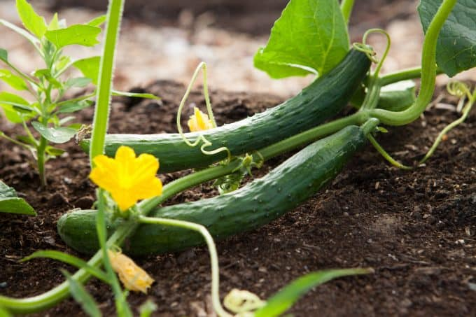 Is cucumber good for diabetes?