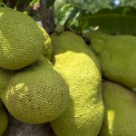 Is-Raw-Jackfruit-Good-for-Diabetics